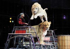Majestic just to watch, the white lions of Kinoshita Circus perform their routines in the daily shows through Feb. 3 in Tomigusuku.