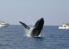 A humpback whale breaches the surface as whale watchers on boats look on. Photo courtesy of Cerulean Blue Co. that arranges whale watching tours from Hamagawa Fishing Port in Sunabe, and has a policy of guaranteeing the sight of whales.