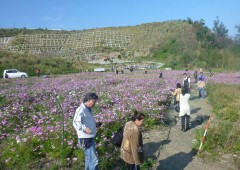 Local residents created the Cosmos flower field after a landslide destroyed the slope in 2006.