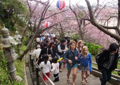 Visitors climb the stairs up Mt. Nangusuku under the canopy of pink cherry blossoms during Nago Cherry Blossom Festival.