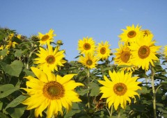A field of sunflowers in Kitanakagusuku is ready to put a smile on people&#039;s faces.