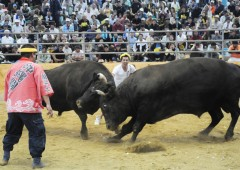 It's a bull against bull in Okinawan bullfight tournament when two beasts weighing more than 1,000 kg face each other.