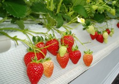Red and ready! Delicious strawberries are waiting for picking at the Ginoza Village Agricultural Succession Planning Center&#039;s 1,000-meter hot house.