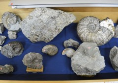 Fossilized remains of ammonites, and other animals and plants are on display in Nago Museum through May 20.