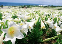 A million white lilies are in full bloom at the Ie Island Lily Park that opens for its two-week festival running through May 6.