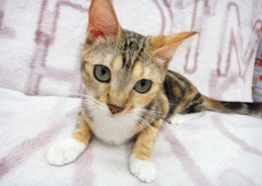 More than 50 breeds of cats are on exhibit at Ryubo Dept. Store in Naha starting Jan. 2.