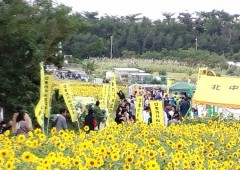 The annual Kitanakagusuku Himawari (sunflower) festival starts this weekend.