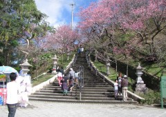The stairs leading to Nago Castle site is lined with Taiwan Cherry trees.