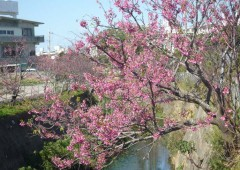 Local volunteers planted cherry trees along Nuri River in Gushikawa, and now there are some 500 along the river banks.