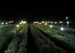 Brightly lit Chrysanthemum fields are an American invention that Okinawan flower growers have eagerly adapted.