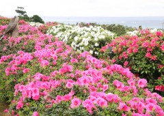 Higashi Azalea Festival is an annual event in Higashi Eco Park where over 50,000 azalea bushes bloom every March.