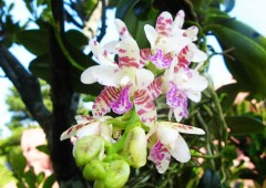 Most of the orchid varieties on display grow wild in the jungles of Okinawa although very few people ever see them.