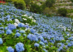 Ajisaien has over 9,000 hydrangea.