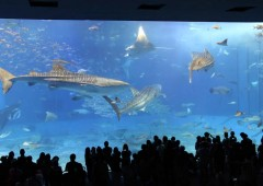 Churaumi Aquarium is the world leader in keeping whale sharks in captivity.