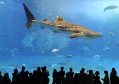 Churaumi Aquarium in Motobu is the most popular tourist attration in the prefecture with over four million visitors to the facility every year.