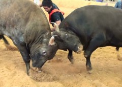 It's a bull against bull in Okinawan style bullfights on Fathers' Day in Ishikawa Dome.
