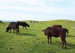 Ishigaki beef cattle graze on an open pasture.