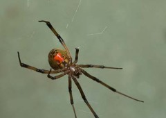 The telltale mark of a brown widow spider is the hour-glass shaped bright colored mark on its back.