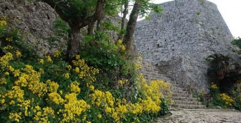 Yellow Tsuwabuki blooms at Nakagusuku Castle Ruins. ©中城城跡共同管理協議会