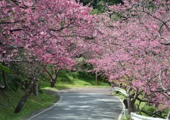 Some 7,000 planted cherry trees line the road to the top of Mt. Yae.