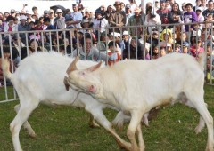 Goat fights are one of the more unusual events at the fair.