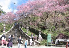 The stairs leading to the Nago Castle Ruins Park on the top of the hill is the focus point of the annual Nago Cherry Blossom Festival.