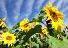 Sunflowers are pretty, and a valuable crop prized for its oil and seeds.