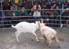 Goat fight tournament is an attraction at the festival, augmented by a raffle that gives  on lucky winner a goat of his or her own.