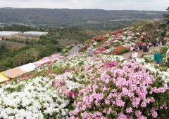"Azalea are called ""Royalty of Garden"" and 50,000 of them cover a hilltop park in Higashi Village."