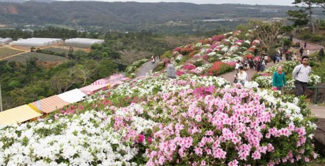 """Azalea are called """"Royalty of Garden"""" and 50,000 of them cover a hilltop park in Higashi Village."""
