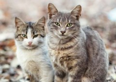 About 100 stray cats living at Okinawa Comprehensive are the target of spaying and neutering campaign this week.