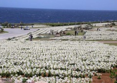 The Lily Park on Ie Island contains millions of white Easter Lilies now coming to full bloom.
