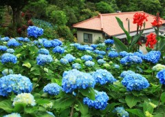 Some 9,000 hydrangea are in bloom in Ajisai-en, a private garden park in Motobu that is the handiwork of now 97-year-old Uto Yohena.