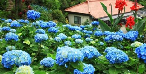 Some 9,000 hydrangea are in bloom in Ajisai-en, a private garden park in Motobu that is the handiwork of now 97-year-old Uto Yohena.