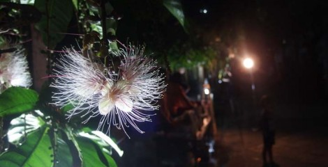 Each flower of Sagaribana blooms only one night.