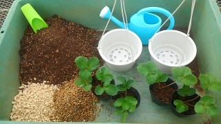 Ginoza Strawberry Farms provides seedlings, pots and soil, all you have to bring is you and your gloves to start growing your own berries.