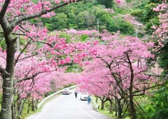 Some 7,000 kanhi cherry trees line to road to the top of Mt. Yae through the Yaedake Cherry Forest Park.