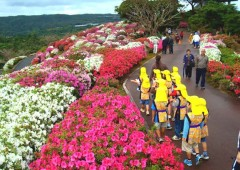 About 80,000 people are expected to make a trip north to Higashi Village to enjoy the sights of the Annual Azalea Festival that runs from Mar. 4th through 21st.