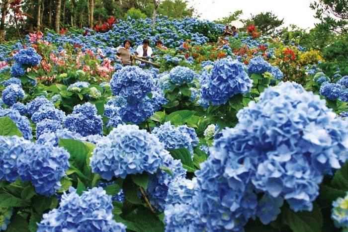 Visitors walk among the 9,000 plus hydrangea flowers along prepared paths thet criss-cross the Ajisai Garden.