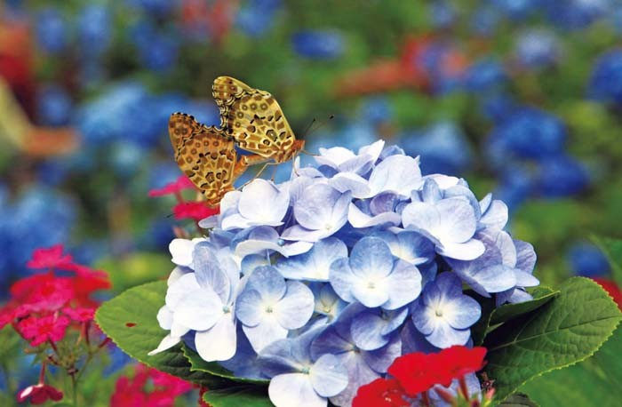 The blooming flowers attract plenty of colorful butterflies to drink the flowers' sweet nectar.