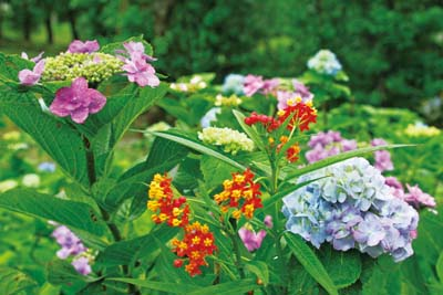 There are spots of other colorful flowers among the 78 varieties of hydrangea that give the garden extra color.