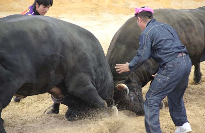 Powerful bulls weighing up to 1,000 kgs and even more give the contest their all, but nobody hardly ever is hurt.