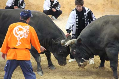 Handlers of the fighting bulls encourage their beasts every way they can but are forbidden to touch them.