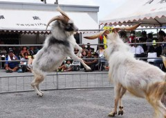 Goat fighting is said to be more dynamic than the more familiar Okinawan bullfighting.
