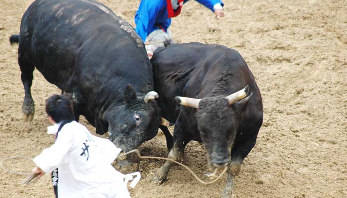 In Okinawan bullfights no one gets killed and even injuries are rare.