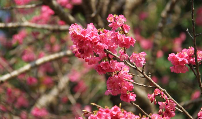 Okinawa's pink cheey blossoms are in full bloom just now.