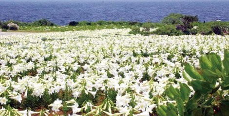 Ie Lily Park is on the western coast of the island.