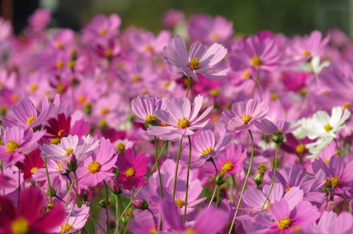 Cosmos flowers are in full bloom in NIshihara.